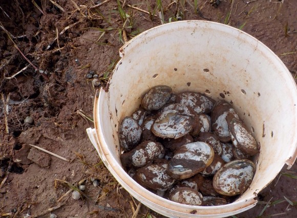 The Happy Clammers experience is a clam digging experience through Experience PEI. Here you dig up your own dinner, and are warmly invited into Gilbert and Goldie's to eat at their table. Photo copyright Sheri Landry