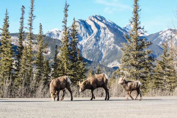 Bighorn Sheep on the road heading into Jasper, Jan 2016. Photo credit: Sheri Landry