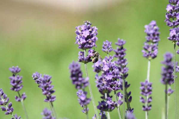 lavender_bee_yard