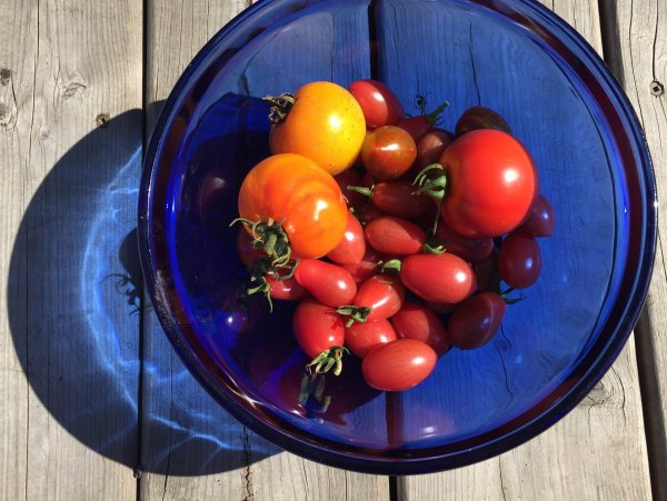 Save your tomatoes after a frost. Colourful garden tomatoes. Photo copyright Sheri Landry