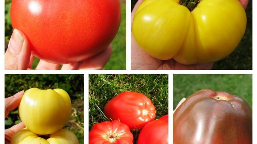 Are Tomatoes Red? Yes, and No.