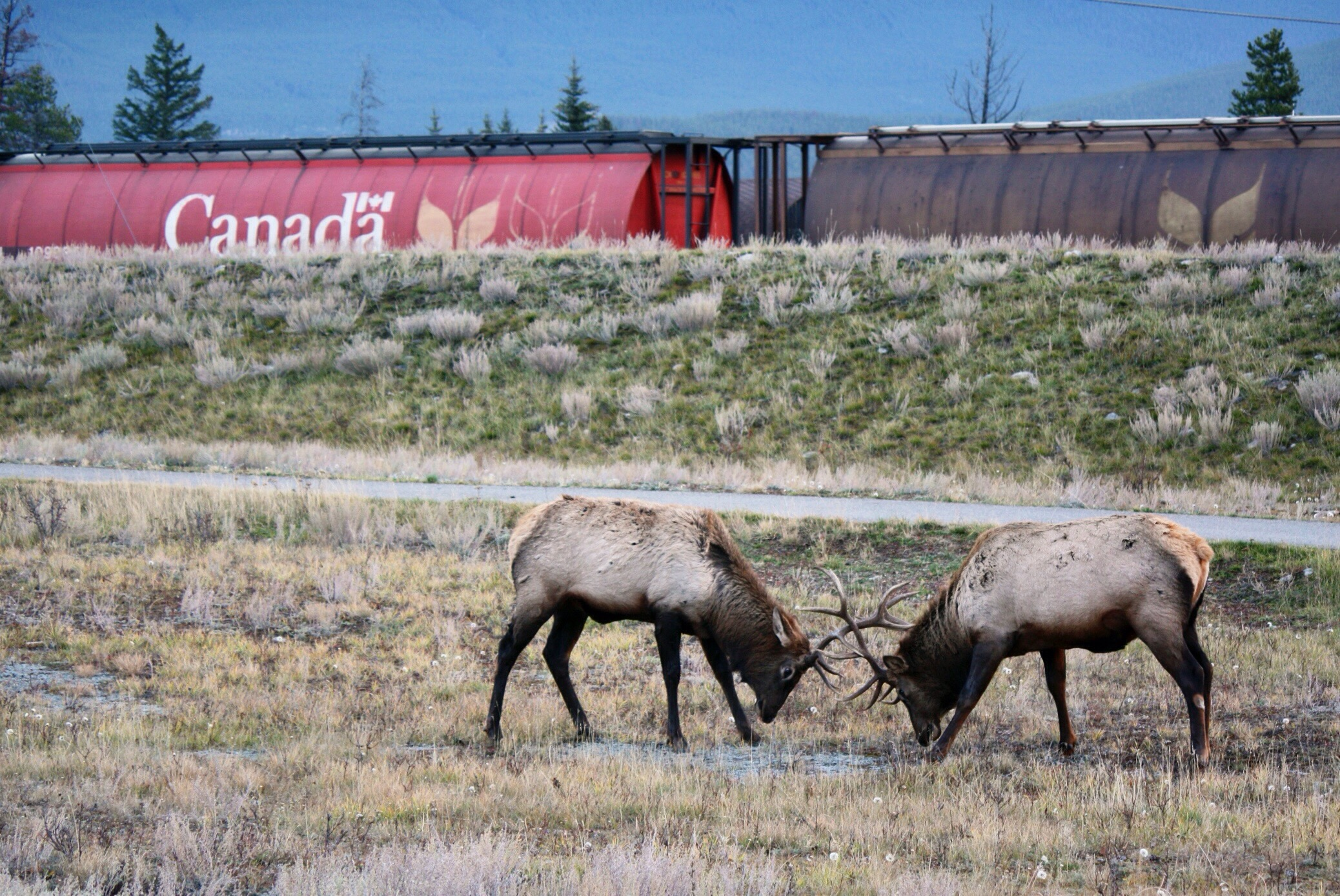 Two bull elk during rutting season in Jasper during the Dark Sky Festival. Photo copyright Sheri Landry.
