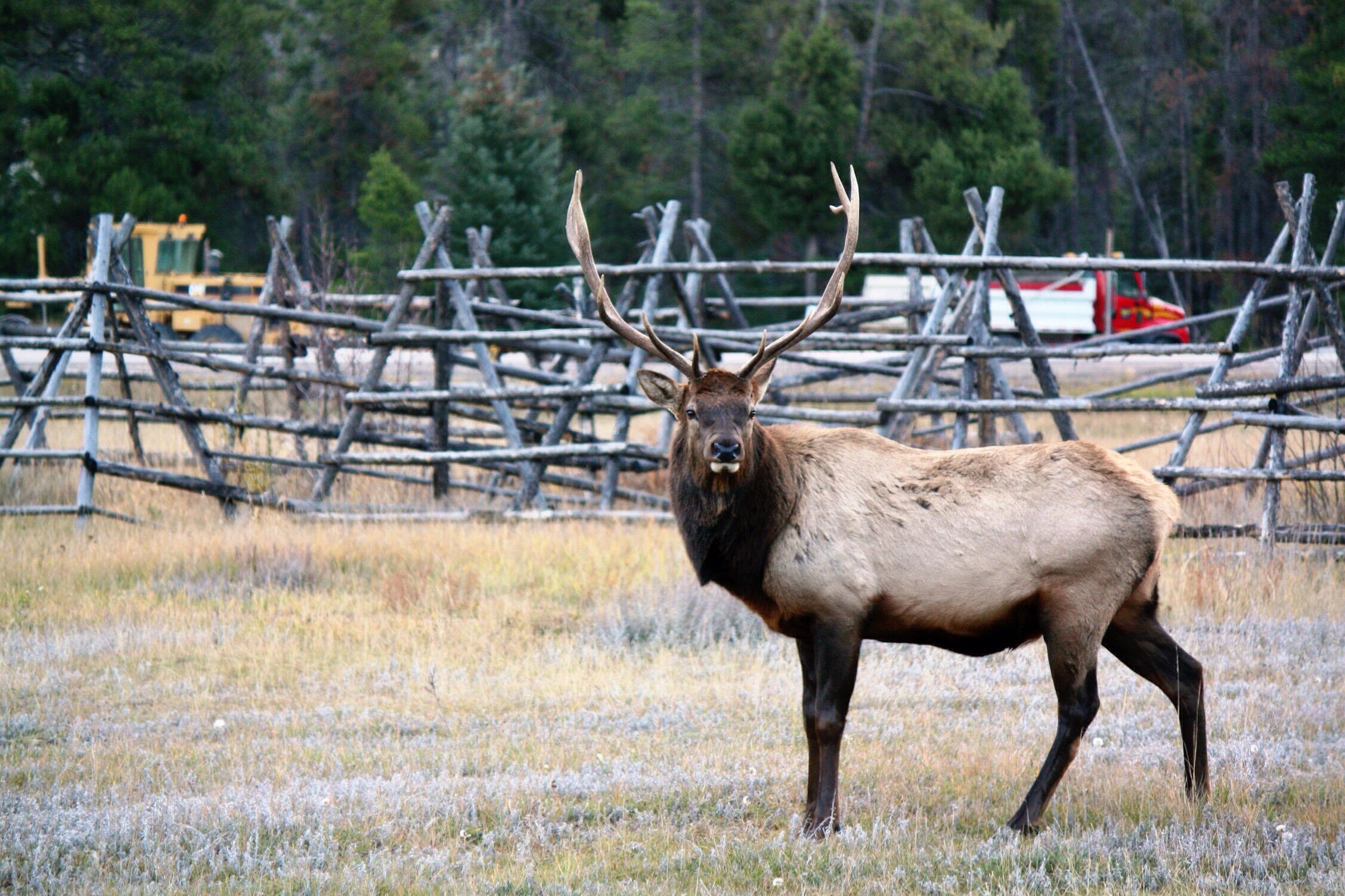 A lone bull elk stands just outside of Jasper. Photo copyright Sheri Landry.